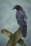Raven in the rain. A raven, sitting on an old gate in the rain Stock Photo