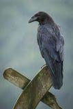 Raven in the rain Stock Photo