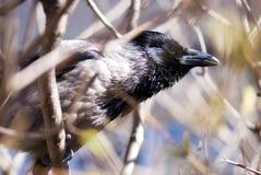 Raven, regard attentif droit Photographie stock libre de droits