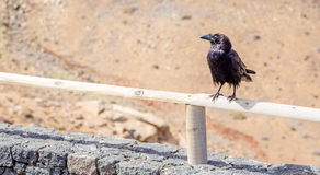 Raven resting at the Betancuria Marker place. Photography of a raven resting at the Betancuria Marker place , Fuerteventura, Canary Islands, Spain royalty free stock image