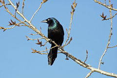 The Raven royalty free stock images
