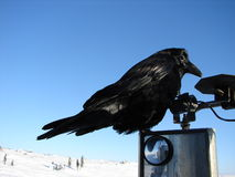 Raven riding on truck mirror Stock Image