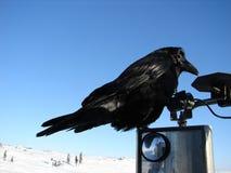 Raven riding on truck mirror Stock Image