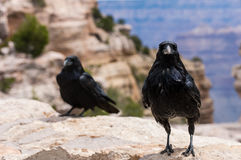 2 Raven Royalty Free Stock Images