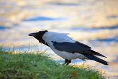Raven before rise. On a background of the autumn gold river Stock Photos