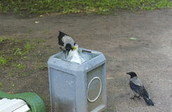 Raven rummages in a garbage urn, 2 crows, birds Stock Images