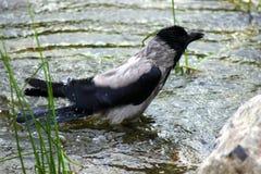 Raven se baignant sur le côté de lac Photo libre de droits