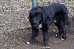 Raven Shepherd Dog Lizenzfreie Stockbilder