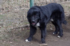 Raven Shepherd Dog. Is one of the four breeds from shepherds Romanian royalty free stock images