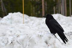 Raven si è appollaiato su una banca della neve Immagine Stock