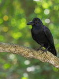 The raven sits on branch, turned its head to the left, the profile of a bird with a strong beak, black plumage, against a backgrou Stock Photography