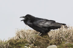 Raven that sits on top of a hill and screams spring Stock Photo