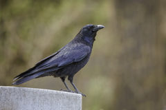 Raven sitting on a gravestone Royalty Free Stock Photo