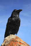 Raven Sitting on a Rock Against a Bright Blue Sky Royalty Free Stock Image