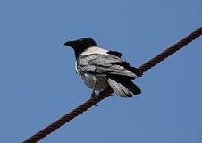 Raven sitting on rope Royalty Free Stock Photography
