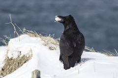 Raven sitting on snow with food in its beak winter Stock Photo