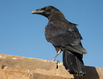 Raven sitting on a stone Royalty Free Stock Image