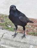 Raven. Sitting on top of concrete wall Stock Image