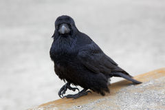 Raven. Sitting on top of concrete wall staring into camera Royalty Free Stock Photography