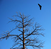 Raven in the skies Royalty Free Stock Image
