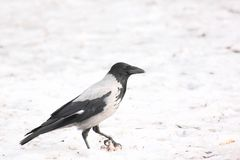 Raven. Snow. Stock Photo