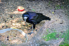 Raven Stock Photography