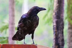 A raven standing on a picnic table.  Royalty Free Stock Photos