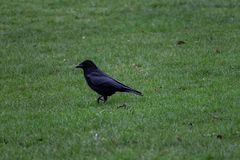 Raven stepping in the grass stock photo