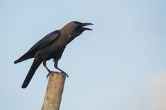 Raven on a stick Royalty Free Stock Photography