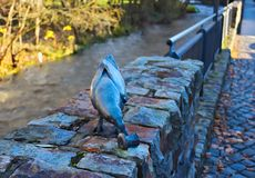 Raven sulla parete Fotografie Stock