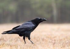 Raven sullo schiarimento della foresta Fotografia Stock