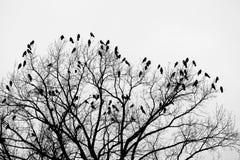 Raven sur l'arbre 2 Photo libre de droits