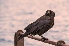 Raven sur la balustrade dans le coucher du soleil Photographie stock libre de droits