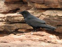 Raven sur la roche Images libres de droits