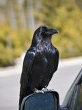 Raven sur le miroir de véhicule Images libres de droits
