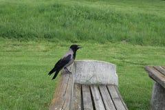 Raven sur le repos photo stock