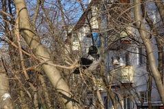 Raven sur un arbre Le corbeau se repose sur un arbre sans feuilles près des maisons L'hiver Russie photographie stock