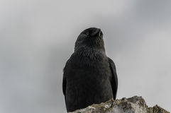 Raven. On the top of the tower of Blarny castle in Cork, Ireland Stock Photos