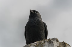 Raven 2. Raven on the top of the tower of Blarny castle in Cork, Ireland Royalty Free Stock Image