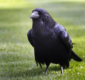 Raven in The Tower. Of London, UK Royalty Free Stock Photography
