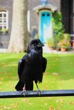 Raven Royalty Free Stock Photography
