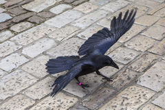 Raven at the Tower of London Royalty Free Stock Photography