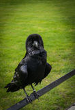 Raven at the Tower of London Stock Image