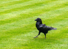 Raven at the Tower of London. One of the ravens of the Tower of London, UK Stock Photo