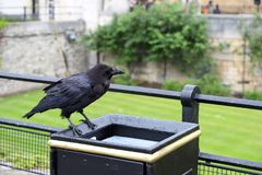 Raven at Tower of London on Trash Can stock photography
