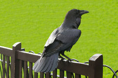 Raven in The Tower of London, UK. Black Royal Raven in Londons Tower Royalty Free Stock Image