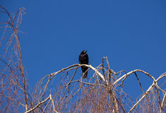 Raven on Tree Royalty Free Stock Photography