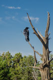Raven in Tree Royalty Free Stock Image
