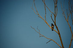 Raven on tree with blue sky Stock Photo