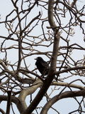 Raven in a Tree Royalty Free Stock Photo